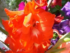 Gladiolen vom Feld_3